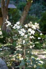 瑞泉寺境内に咲き誇るショウメイギク。