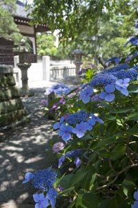 6月17日、梅雨の晴れ間の強い陽射しにあじさいがよくあいます。