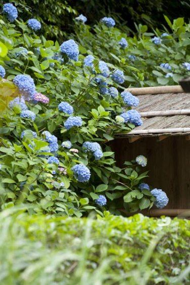明月院のあじさい。開山堂を囲む谷戸の側面にもたくさんの紫陽花が咲きます。