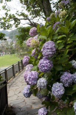 稲村ケ崎海浜公園のあじさい。展望台へと登る途中にも。