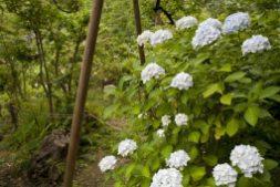 光則寺の池のほとりにあるあじさい。ちょうど梅の実が収穫時期を迎えていました。