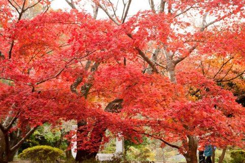 ダイナミックな紅葉は源氏山の魅力のひとつ。