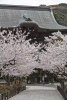 建長寺の桜。山門前の端正な並木は鎌倉有数の桜の景色です。