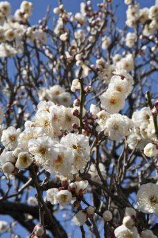 英勝寺。鎌倉唯一の尼寺に咲きます。