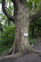 立派な大木も随所にあります。写真は胴回り2m80のクスノキ。