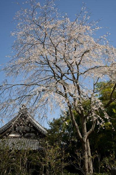 安国論寺の桜。本堂右手に大きな木が数本あります。