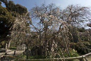 宝戒寺。滝のような枝垂梅。