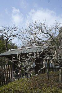浄智寺。山深さに梅が映えます。山門付近に大きな梅があります。