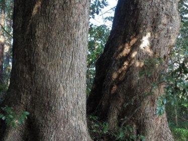 天園ハイキングコース瑞泉寺〜獅子舞上合流地点間、このあたりは大木が多いです。圧倒的な迫力。