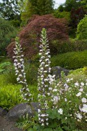 長谷寺の葉蘇(アカンサス)。舶来の雰囲気があります。5月下旬〜6月中旬に咲きます。
