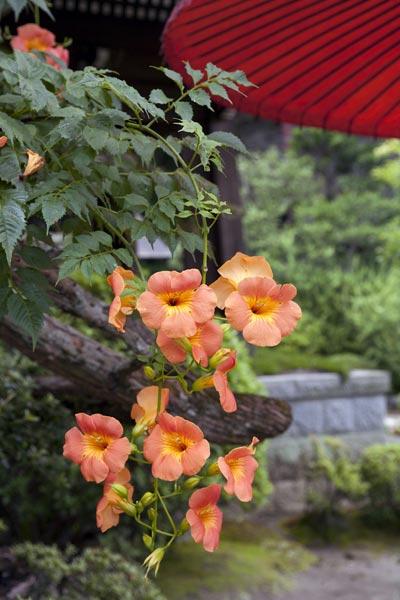 海蔵寺の凌霄花(ノウゼンカズラ)。どことなく舶来(中国原産)というのも頷けます。
