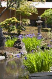 海蔵寺の杜若(カキツバタ)。本堂裏の池にあります。まだ穏やかさの残る初夏の 陽射しに映えます。