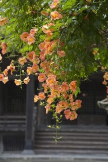 妙本寺の凌霄花(ノウゼンカズラ)1