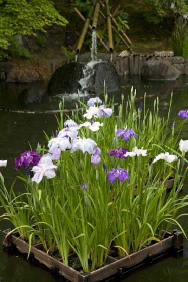 長谷寺の花菖蒲(ハナショウブ)。筏に浮かんだ花菖蒲。あじさいと同じ頃、6月初旬〜中旬に咲きます。