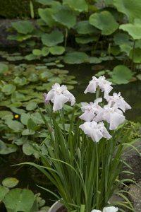 長谷寺の花菖蒲(ハナショウブ)。寺社に池に花。完成された景色です。あじさいと同じ頃、6月初旬〜中旬に咲きます。