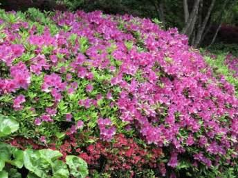 長谷寺の躑躅(ツツジ)。池を覆うようにして広範囲に植えられています。とても華やか。見事です。