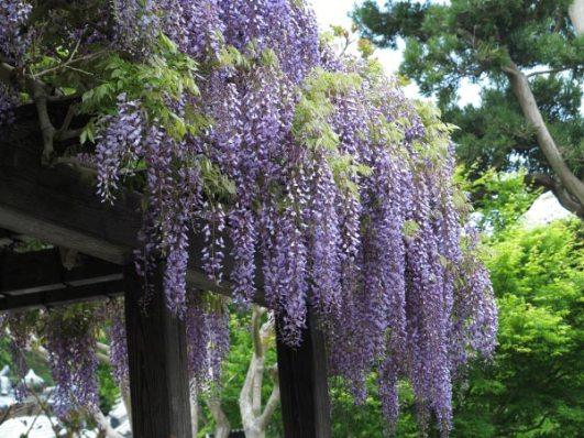 長谷寺の藤。本堂前の藤棚です。