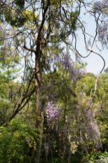 光則寺の藤。光則寺は藤棚の藤、白藤(シロフジ)と木に巻き付いた藤の3つが楽しめます。