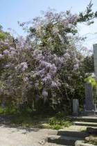 別願寺の藤。