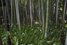 英勝寺竹林の袂に咲くシャガ。