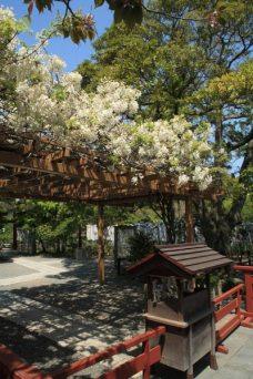 鶴岡八幡宮の白藤(シロフジ)。源氏池の旗上弁財天にあります。