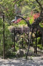光則寺の藤。山門前にある、藤と白藤の藤棚。手前が藤。