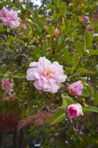 源氏山公園の山茶花(サザンカ)。紅葉と一緒に撮影しました。
