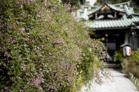 常栄寺の萩(ハギ)。萩本来の紅紫色です。