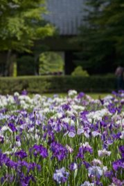 明月院の花菖蒲(ハナショウブ)。本堂の奥に一面花菖蒲に覆われた菖蒲園があります。あじさいと同じ時期に開花する花菖蒲。あじさい寺といわれる明月院ですから、この季節は一年を通して最高に盛り上がります。