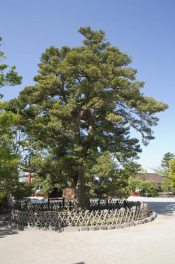 鶴岡八幡宮の槙(マキ)。太鼓橋の近くにあります。