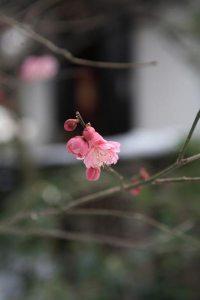 2014年(平成26年)2月9日、宝戒寺の梅。いままさに花開いた紅梅。全体には蕾の状態が多いものの、梅見物のシーズンは始まったという感じです。