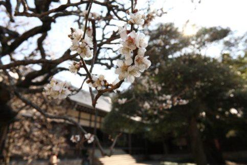 円覚寺、百観音の梅。境内中程、百観音にはたくさんの小さな観音様とともにいくつもの梅があります。