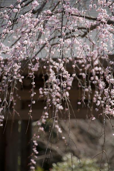 思わずみとれてしまう海蔵寺門前の枝垂梅。