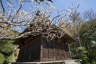 浄光明寺の梅は独特の風情があります。静かな鎌倉のお寺で縁側に腰掛けて眺めることができます。足利尊氏が後醍醐天皇に対して挙兵する前にここに籠った歴史などを踏まえていればなおさら充実した時間が過ごせます。