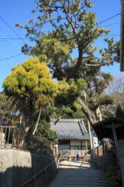 大椿寺門前。大きな松があります。