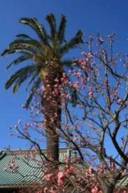 本瑞寺の梅。本堂の屋根、青い空、椰子の木、そして梅という三崎らしい組み合わせ。