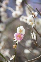 """宝戒寺の梅、""""想いのまま""""。白梅にきまぐれに桃色の花がつきます。"""