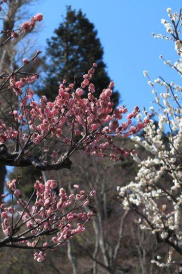 長谷寺の梅。紅梅と白梅、ふっくらとした花弁には春の豊かさを感じます。