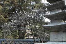 光則寺の梅。境内には20本ほどの梅があります。