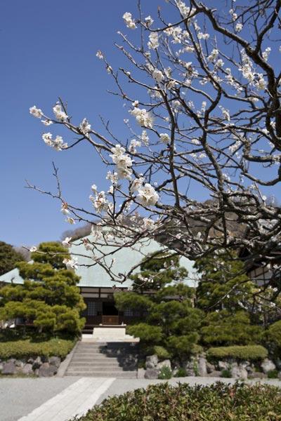 〈王道〉金沢街道をゆく。格式を感じる浄妙寺の梅。