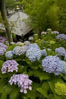 長谷寺のあじさいは数だけでなく質も高く、季節の賑わいが頷けます。