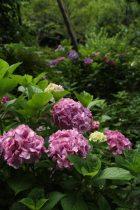 瑞泉寺のあじさいは、きれいに整えられているのですが、どことなく自然味というか野性味があるところが魅力です。日本古来の植物としてこの地域に自生してきた歴史を感じます。