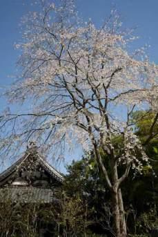 安国論寺のメインはこの枝垂桜。高くそびえて枝垂れる様が見事です。