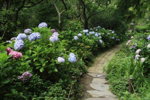 瑞泉寺のあじさい。受付近く、梅林の奥には多くのあじさいが植えられあじさいの道になっています。
