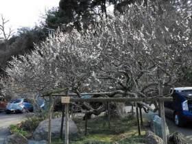 光則寺の梅。光則寺の門前にある古木は樹齢200〜300年。江戸時代から鎌倉に咲きます。