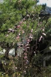 安国論寺の梅。本堂前の紅梅は本堂に掛かるようにのびていて風情たっぷり。