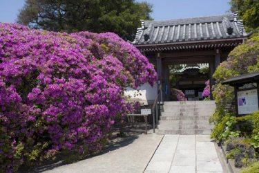 上行寺からほんの少し歩くと道沿いに安養院があります。北条政子ゆかりの安養院は名高いツツジの名所です。5月になったらまた訪れてみてください。