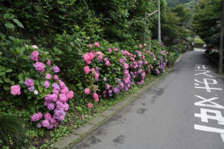 瑞泉寺のあじさい。大塔宮(鎌倉宮)から静かな二階堂の道をゆっくり歩いて瑞泉寺に向かいます。お寺に着く前、通玄橋を渡ったあたりにもあじさいが咲いています。