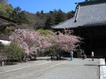 妙本寺の海棠(カイドウ)。祖師堂の左にある2株。そのさらに左には海棠に折り重なるように枝垂桜も咲いています。