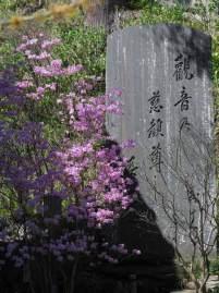 長谷寺経蔵前の三葉躑蠋(ミツバツツジ)。3月〜4月に咲き、桜や木瓜(ボケ)、万作(マンサク)と一緒に見られます。